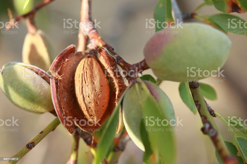 Almonds on a tree stock photo