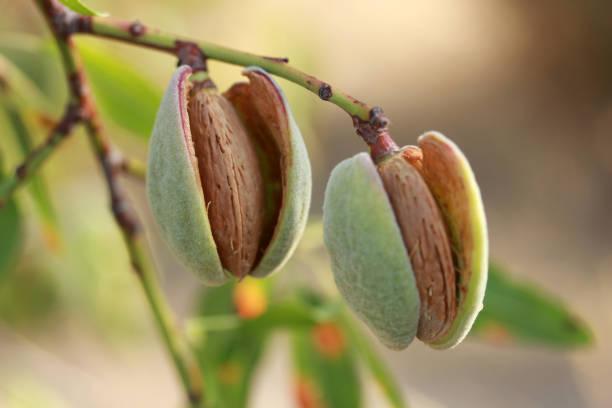 Almonds on a tree stock photo