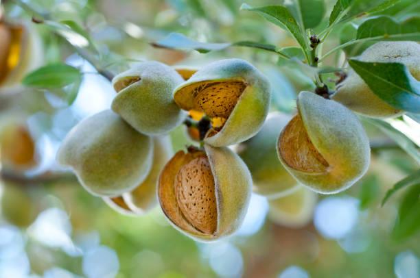 almonds on the tree - mandorla foto e immagini stock