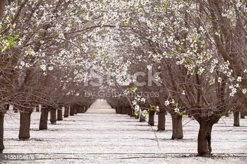 California Almond Nut Agricultural Field, Blossom, Tree, Flower