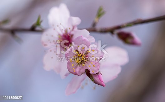 istock almonds tree  flowers on a twing bee blured background in spring season day 1211359927