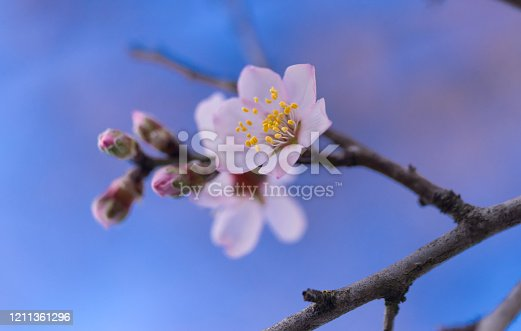 istock almonds tree  flowers on a twing bee blured background in spring season day 1211361296