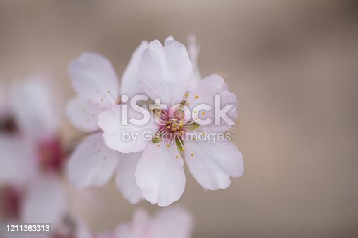 istock almonds tree  flowers on a twing bee blured background in spring season day 1211363313