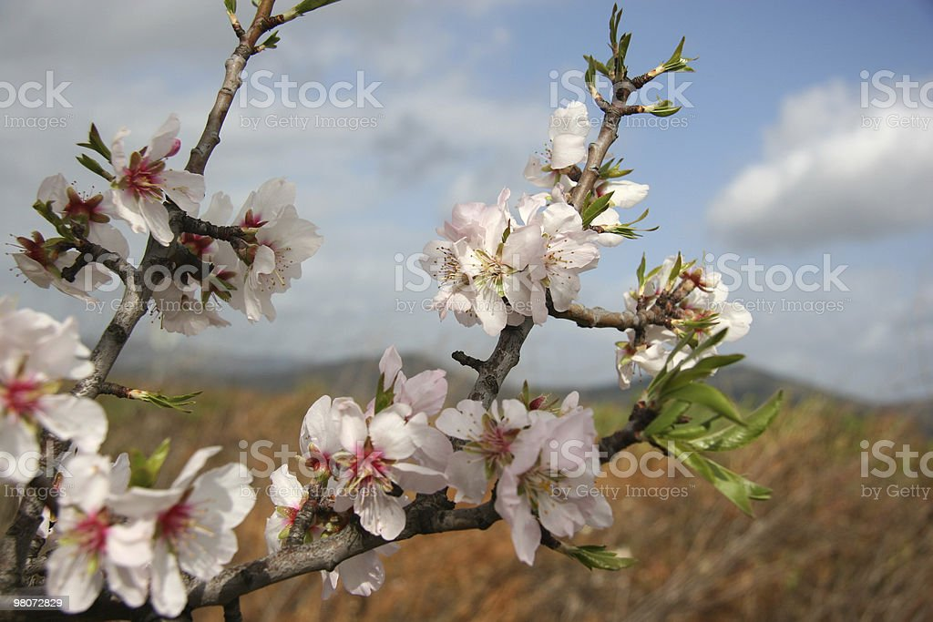 Almond-Tree in Bloom royalty-free stock photo