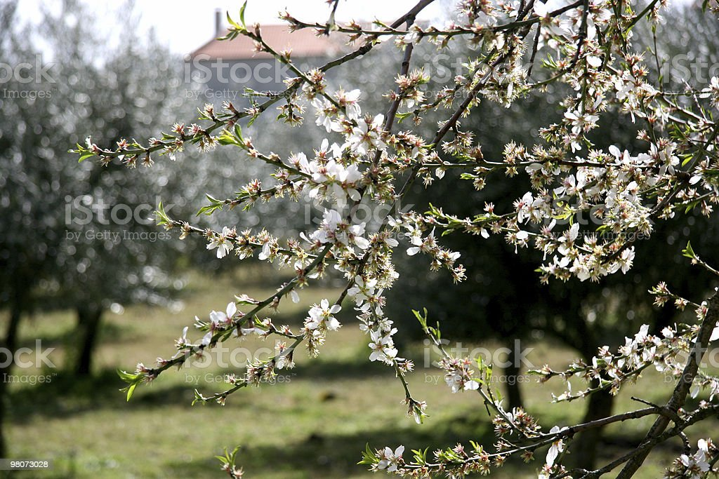 Almond-Trees in Bloom royalty-free stock photo