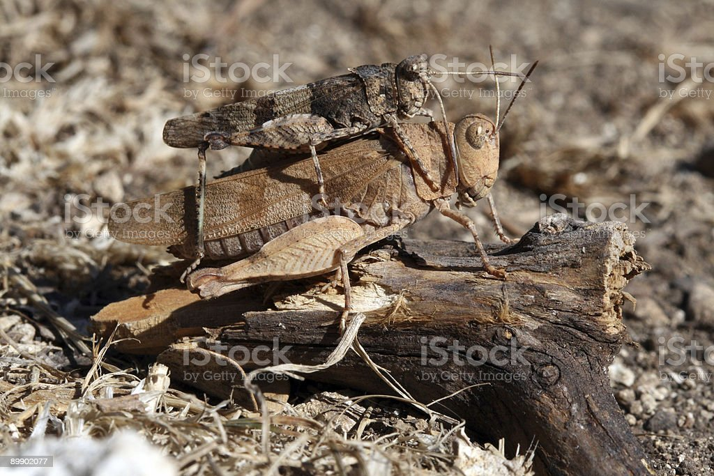Almost invisible grasshoppers royalty-free stock photo