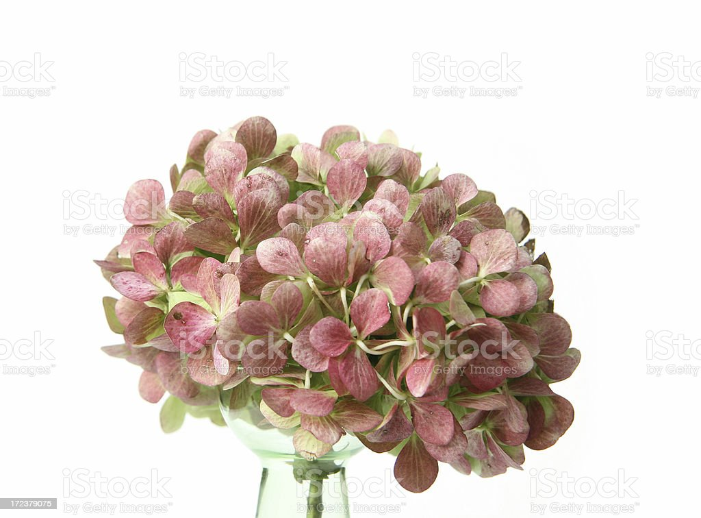 Almost painted hortensia flower royalty-free stock photo