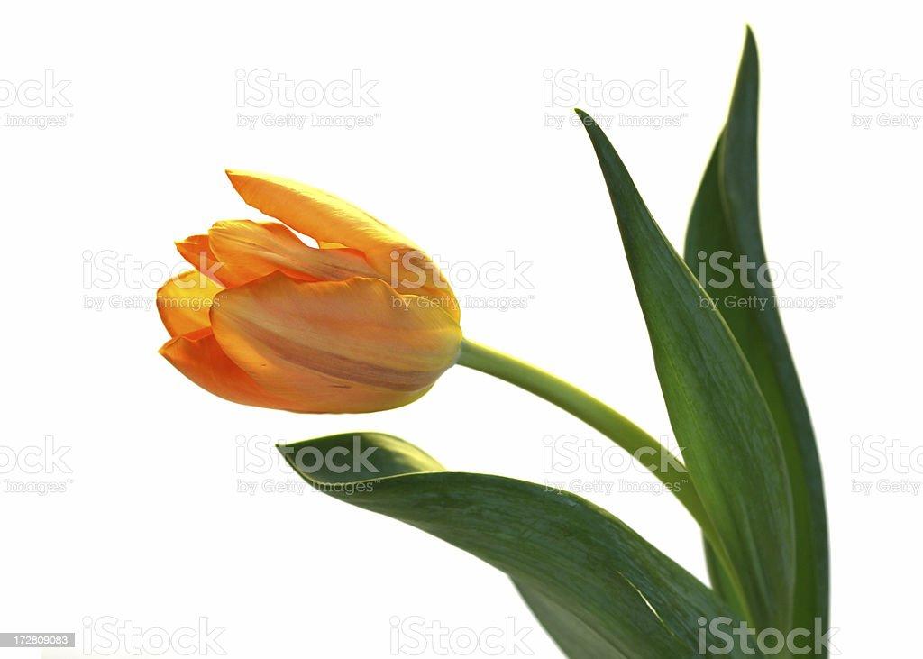 Almost perfect orange tulip stock photo