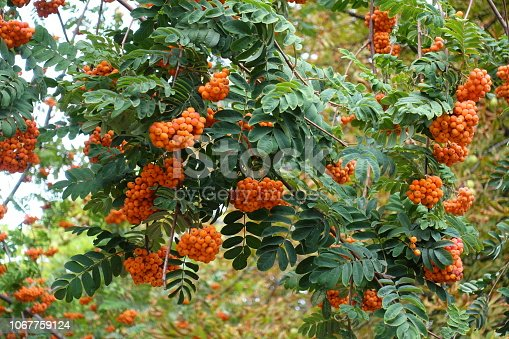 istock Almost ripe berries on branches of rowan 1067759124