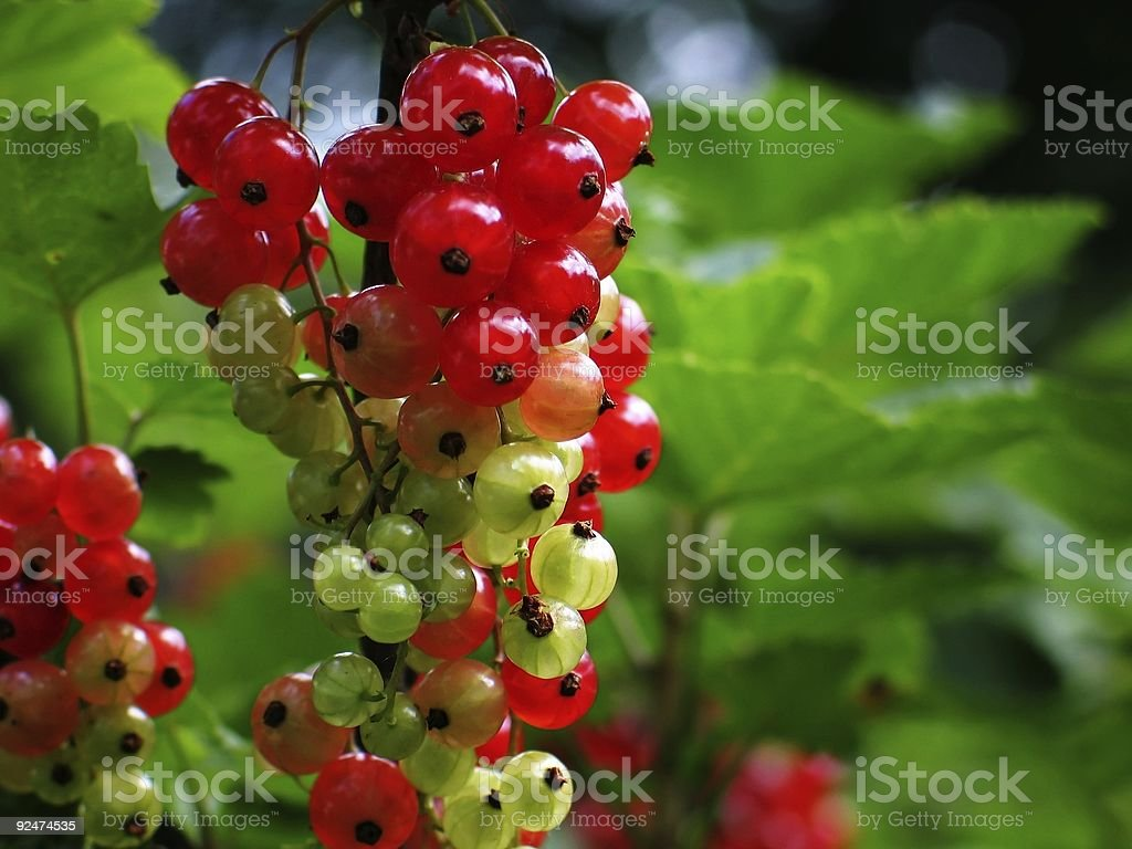 Almost ripe currant cluster royalty-free stock photo