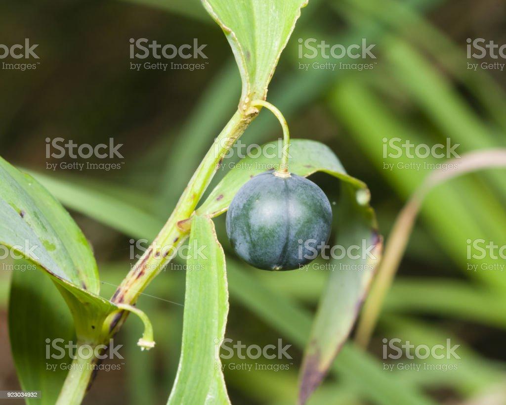 Almost ripe poison berries of polygonatum odoratum, angular Solomon's seal, macro, selective focus stock photo