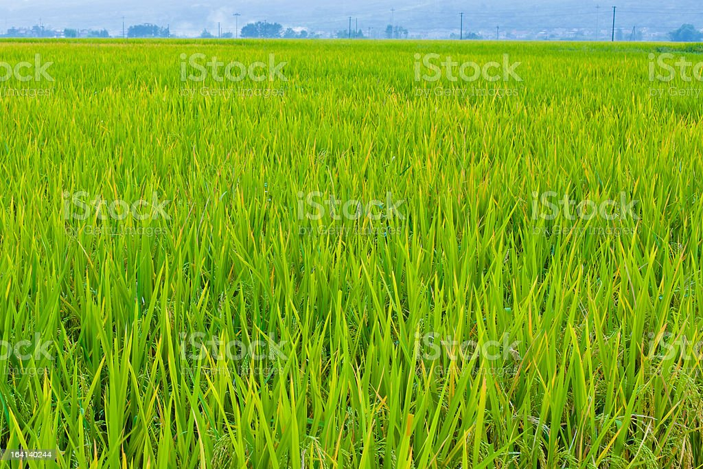 almost ripe rice paddy stock photo