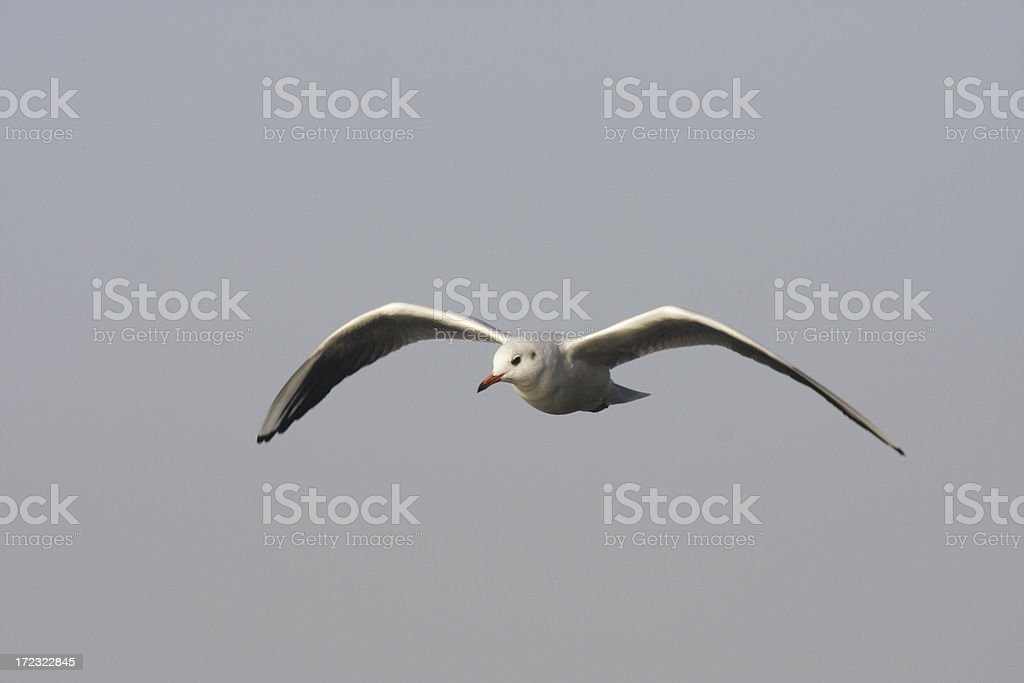 Flying gull makes letter M royalty-free stock photo