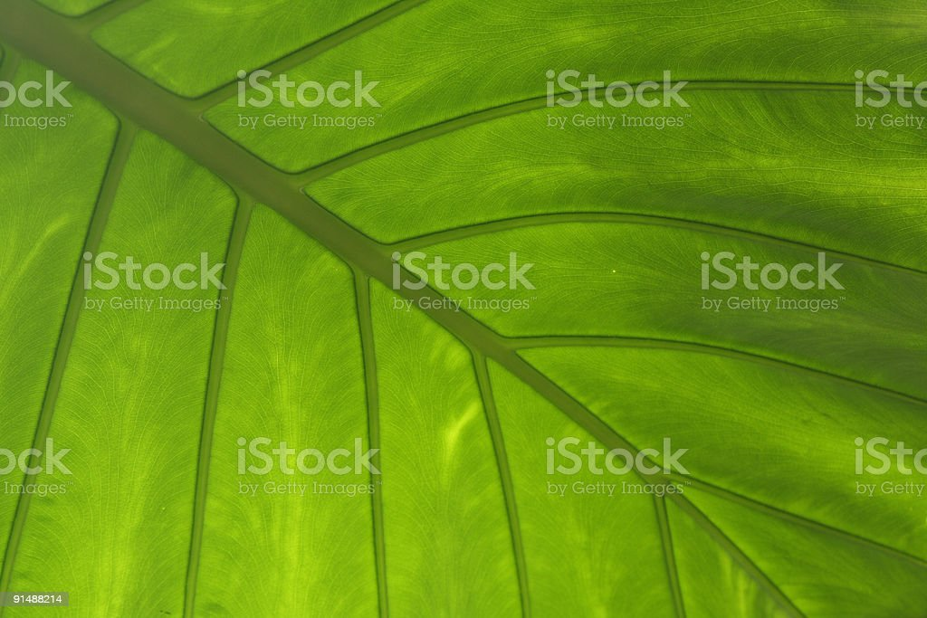 Alocasia alba leaf royalty-free stock photo