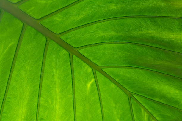 Alocasia alba feuille - Photo
