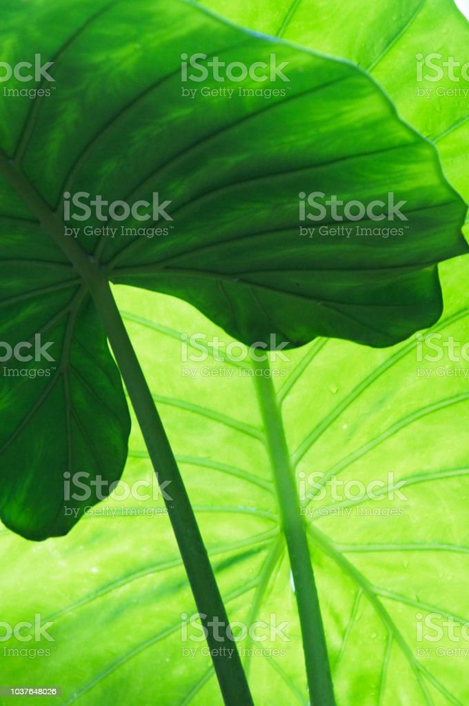 Alocasia indica ou géant taro feuilles vertes fond - Photo