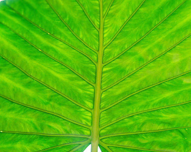 Alocasia feuille - Photo