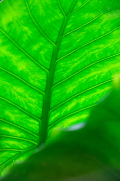 Feuilles d'Alocasia - Photo
