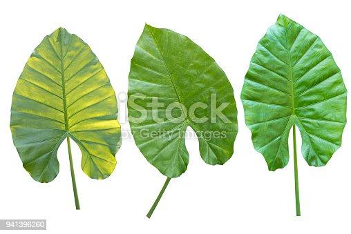 Alocasia macrorhiza Schott green leaf isolate on white background