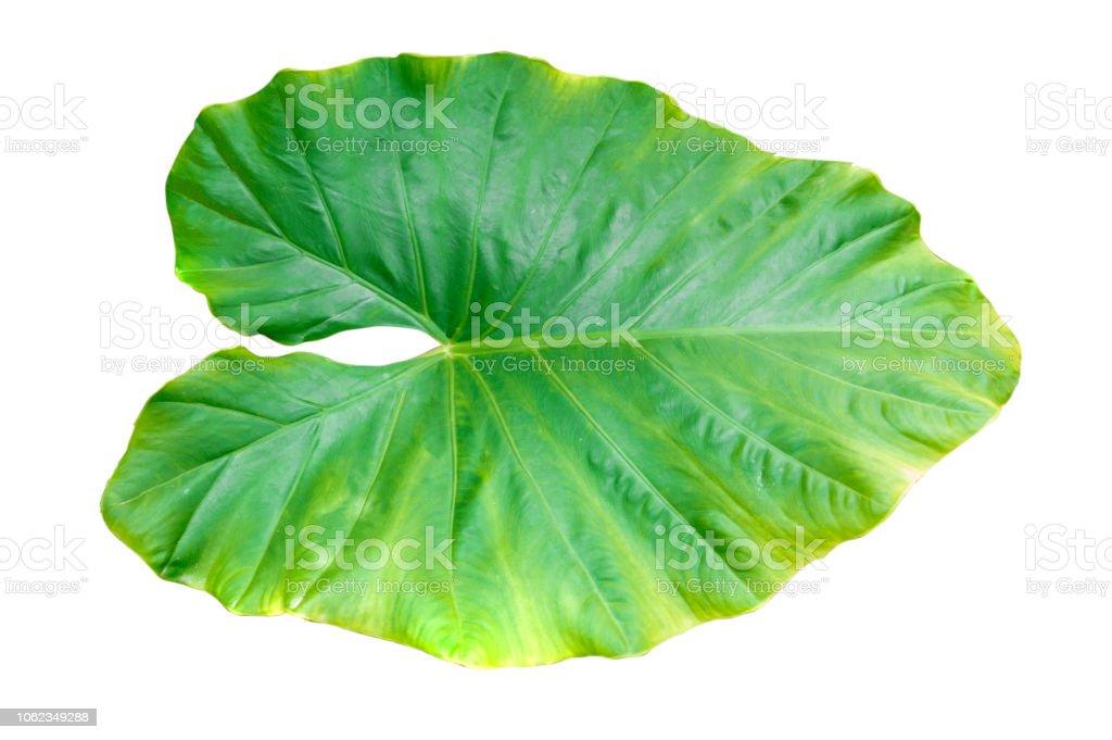 Alocasia macrorrhizos feuilles sur fond blanc. - Photo