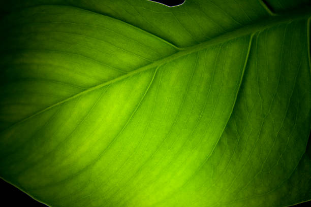 Feuille d'Alocasia odora fermer coup - Photo