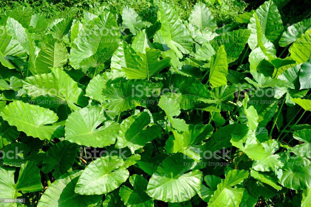 Alocasia Odora Blätter – Foto