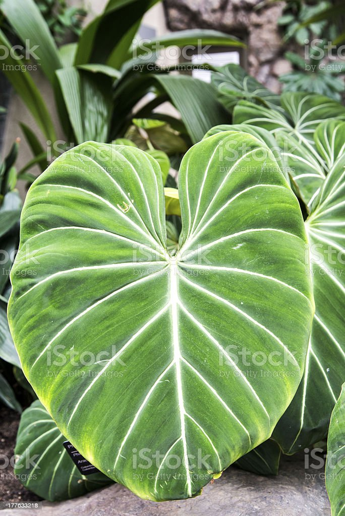 Alocasia stock photo
