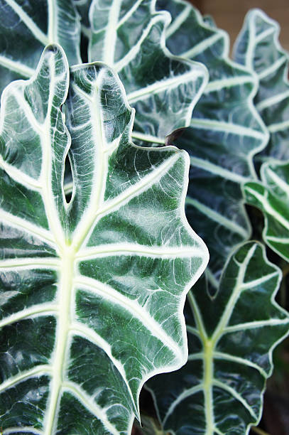 Alocasia - Photo