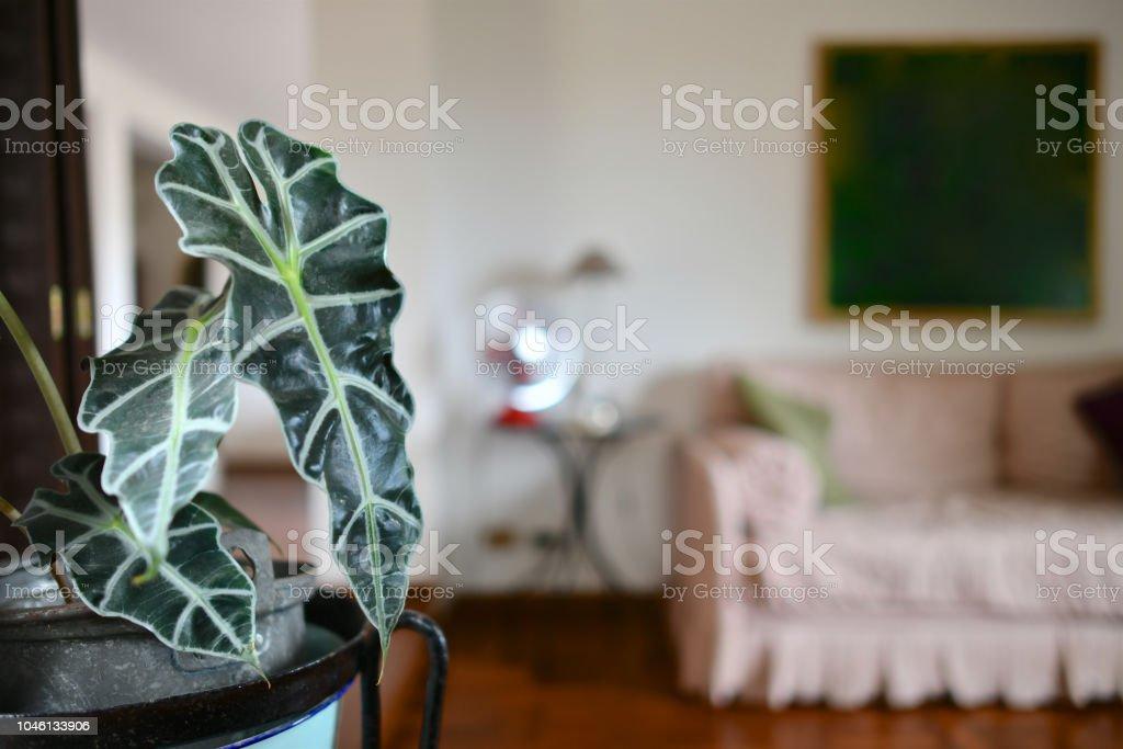Alocasia plante dans une belle pièce de vie - Photo