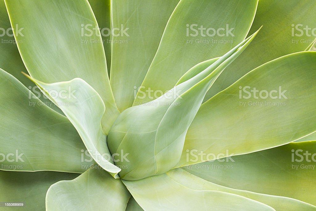 Aloe abstracto - foto de stock