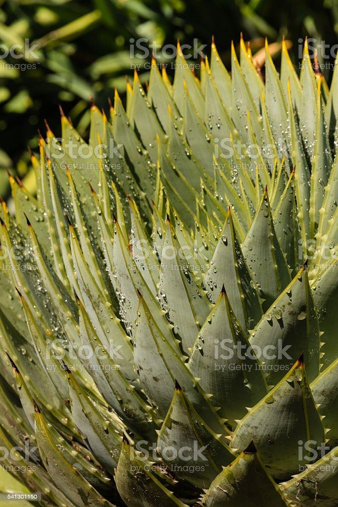 aloe cacti leaves with raindrops stock photo