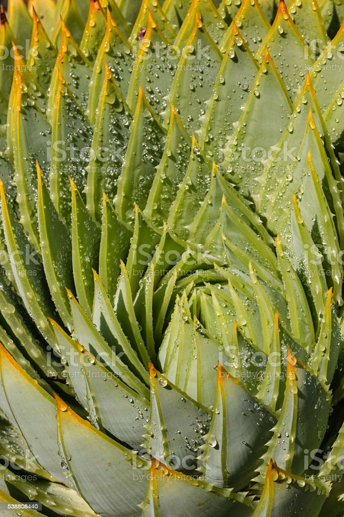 aloe cacti with raindrops stock photo