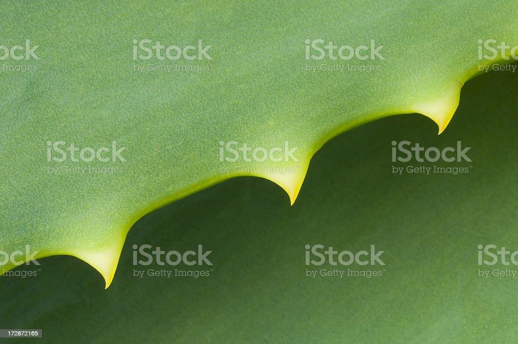 Aloe cactus thorns royalty-free stock photo