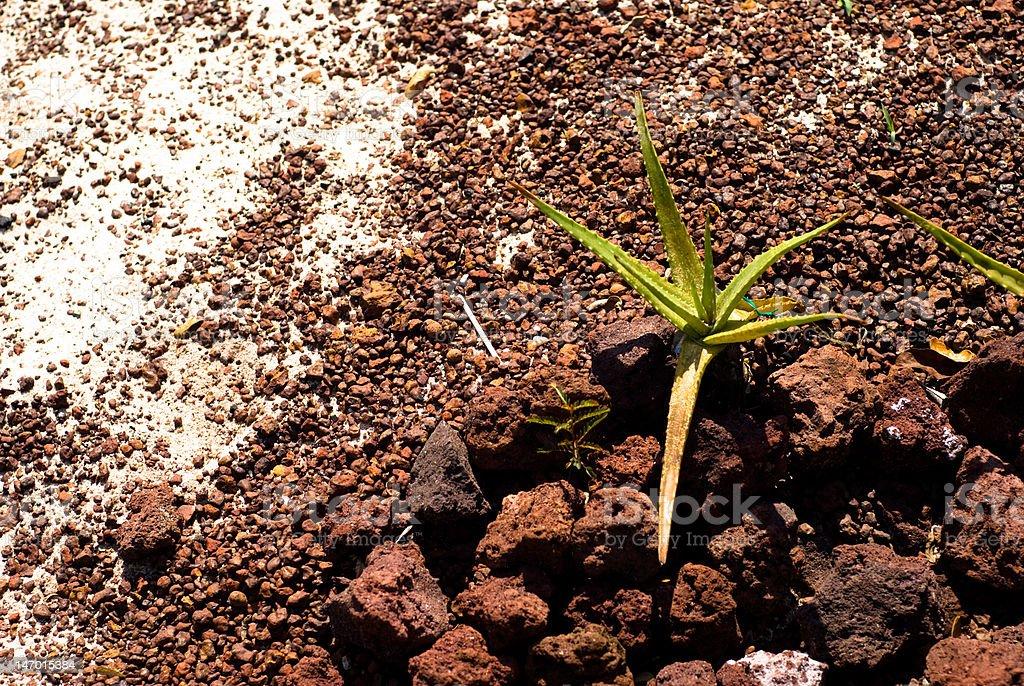 Aloe Ferox royalty-free stock photo