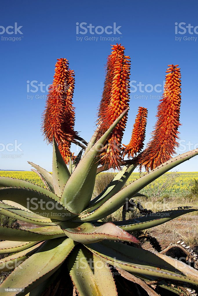 Aloe Ferox Plant, South Africa stock photo