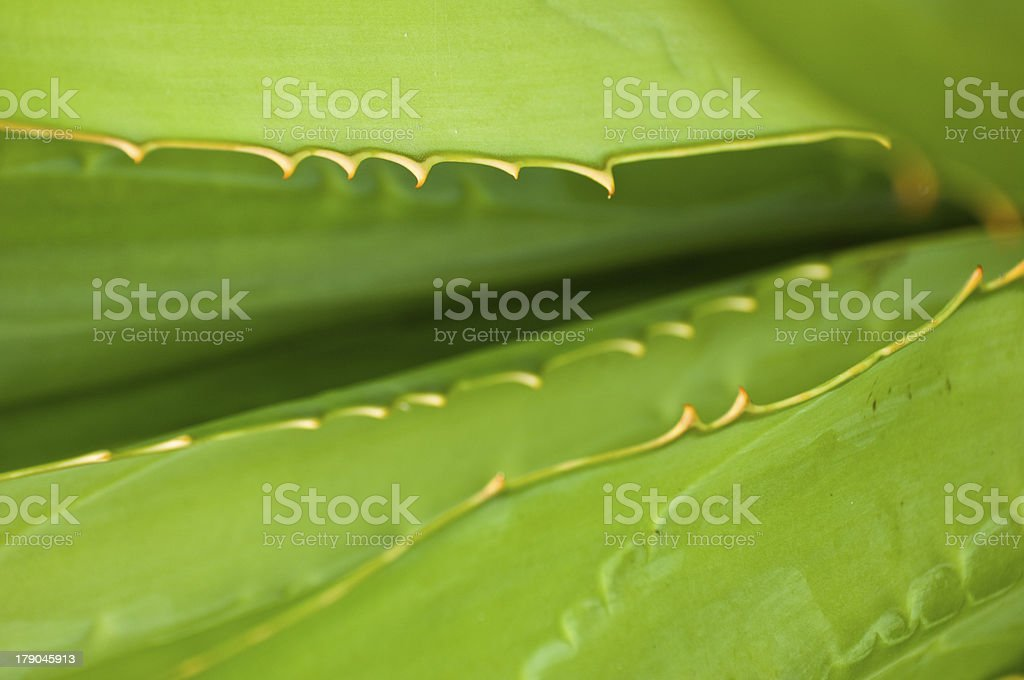 Aloe, leaf, thorn, prickle, green / Piquants, feuille, aloès, vert royalty-free stock photo