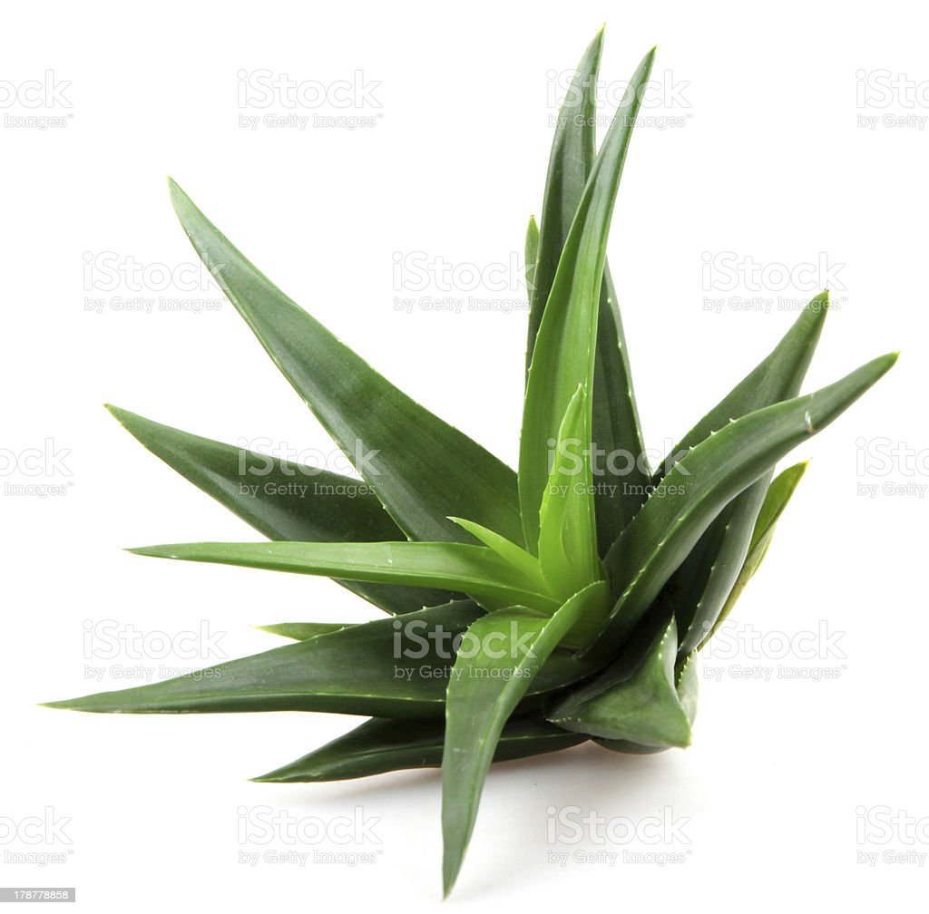 Aloe stock photo