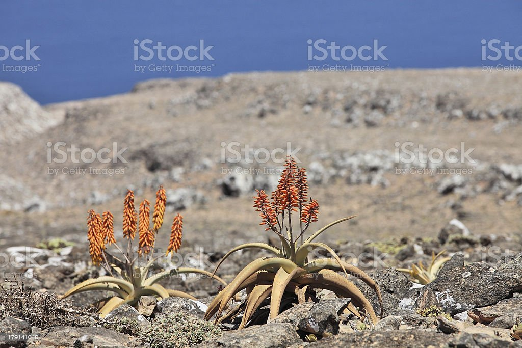 Aloe royalty-free stock photo