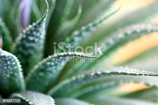 Close-up of the healing plant Aloe Aristata