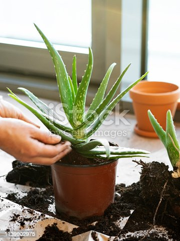 Dirt, Seedling, Plant, Tropical Climate, Agriculture,Aloe Vera Plant,plant root,Moisturizer,root,agriculture