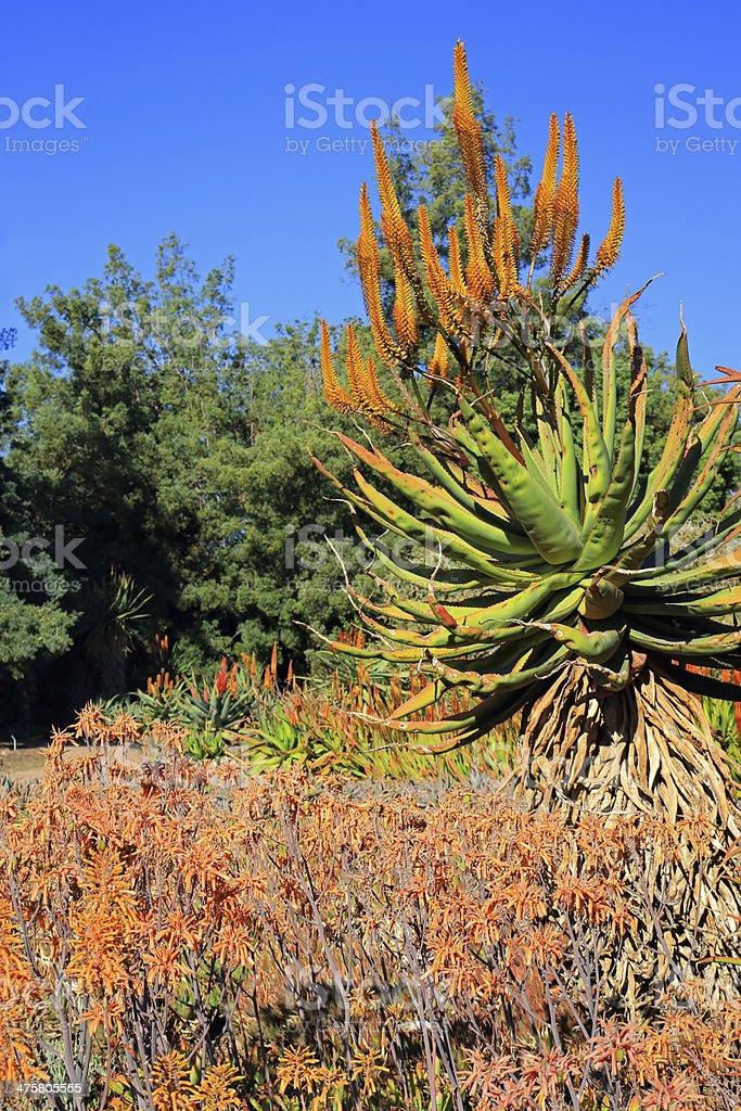 Aloe Plants stock photo