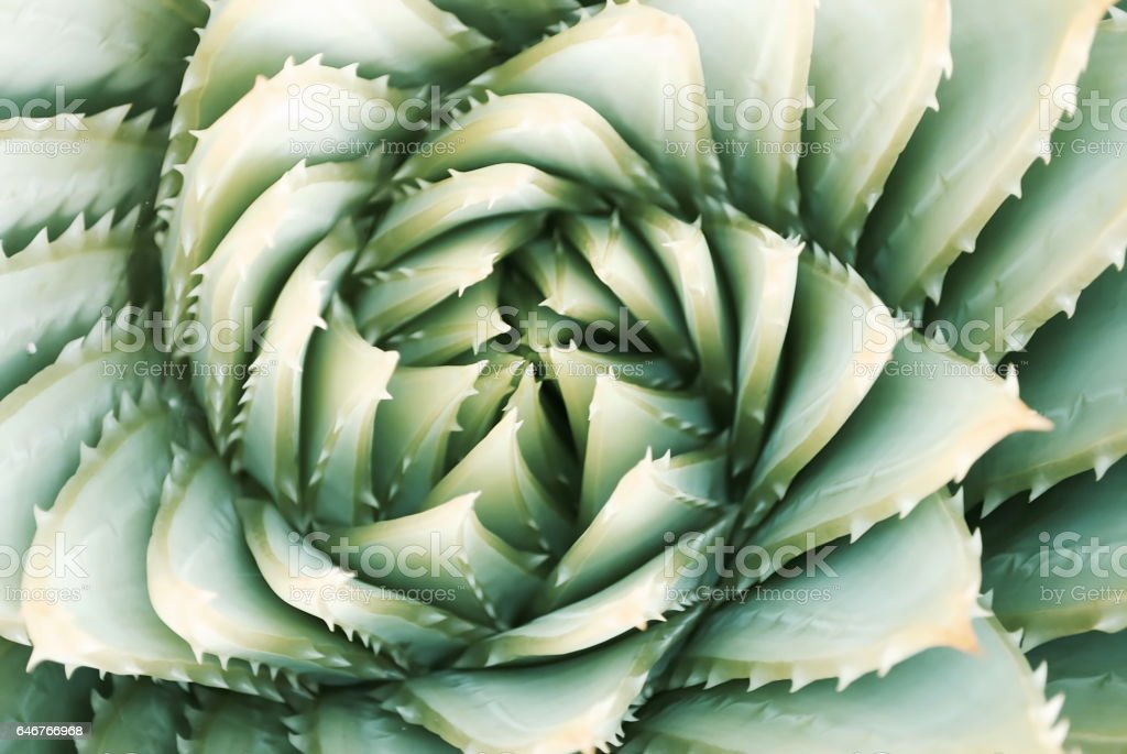 Aloe Polyphylla Succulent Cactus, Filtered stock photo