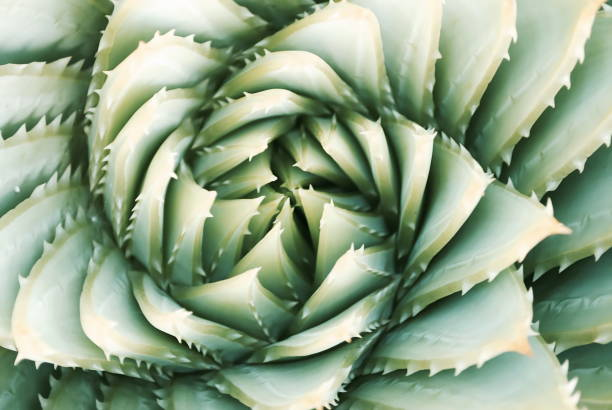 aloe polyphylla succulent cactus, filtered - fibonacci pattern stock photos and pictures