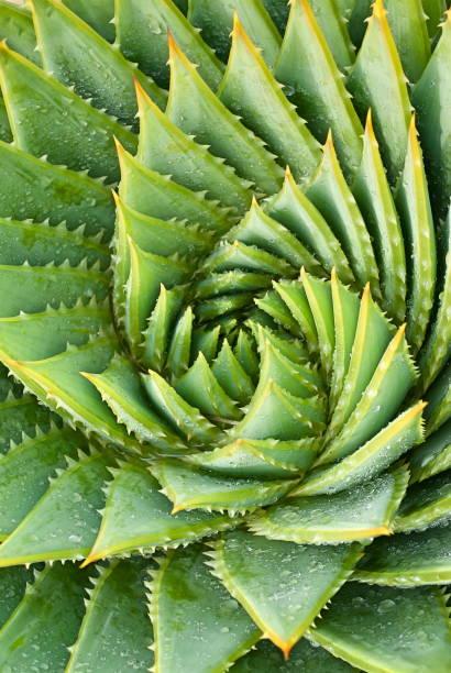 蘆薈滇重樓多汁植物,仙人掌過濾 - 重複螺旋型 個照片及圖片檔