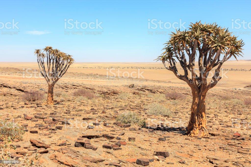 Árbol de Aloe en el desierto en Namibia - foto de stock