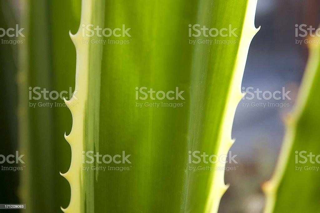Aloe Vera Closeup royalty-free stock photo