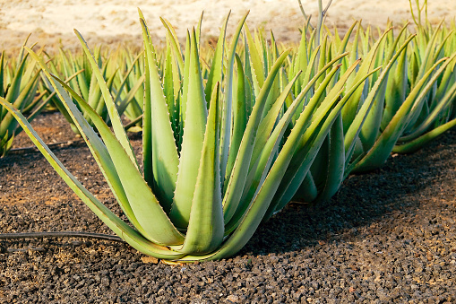 Aloe vera farm on Fuerteventura, Canary Island.