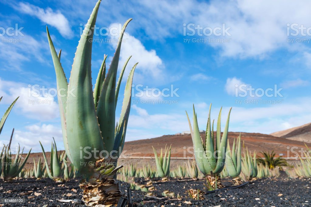Aloe vera farm plantation stock photo