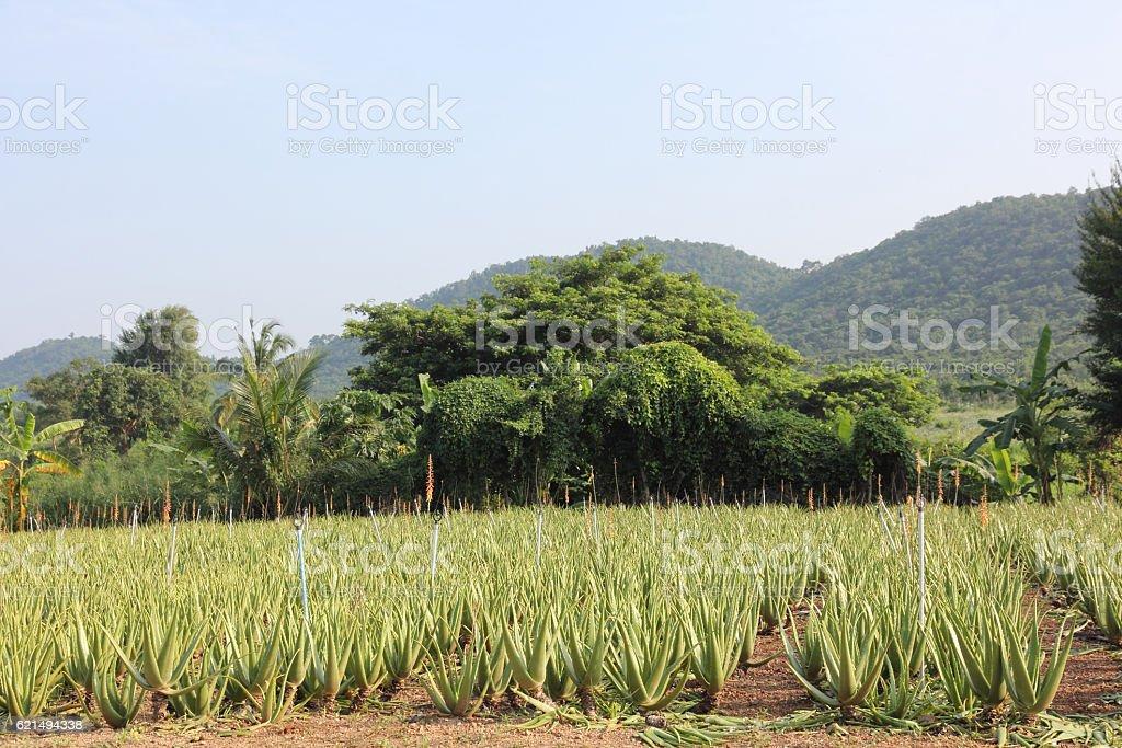 Aloe vera field. foto stock royalty-free