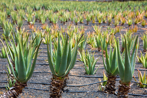 Aloe Vera fields in Lanzarote Orzola at Canaries